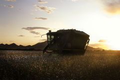 Sunset on Cotton field. Beautiful cotton field on farm in Arizona with mountains in background. A combine harvester is collecting cotton at dusk as the sunsets Stock Image