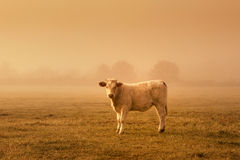 Sunset cow Stock Image