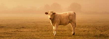Sunset cow. Backlit cattle grazing in a field at sunset stock images