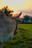 A cow gazing towards Sunset royalty free stock photos