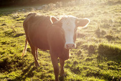Sunset cow. Cow watching you in the sunset Stock Photography