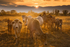 Sunset cowboy Royalty Free Stock Image