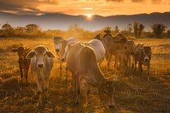 Sunset cowboy royalty free stock image