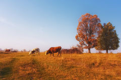 Sunset with cows Royalty Free Stock Photography