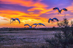 Sunset crane flying in reeds Royalty Free Stock Image