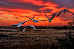 Sunset crane flying in reeds Royalty Free Stock Photography