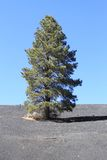 USA, AZ/Sunset Crater: Lone Pine in Cinder Field Stock Photo