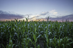 Sunset crop. Crop of organic corn against a sunset sky. Symbolising health and vitality Stock Photo
