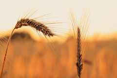 Sunset Crop. Picture of a A crop impression in summer in Bavaria, Germany, shot in a corn field in the setting sun Stock Photography