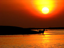 Sunset Crossing. Wild dogs try to cross one island to another as the tide goes low Royalty Free Stock Photos