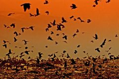 Sunset Crows. Silhouette of flying crows over a junkyard at sunset Royalty Free Stock Images