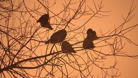 Sunset crows flock of birds nature sitting on the tree winter cold Royalty Free Stock Image