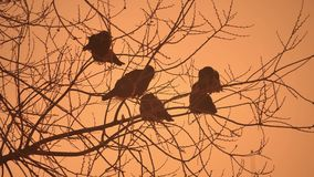 Sunset crows flock of birds nature sitting on the tree winter cold stock images