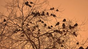 Sunset crows flock of birds sitting on nature the tree winter cold Royalty Free Stock Photography