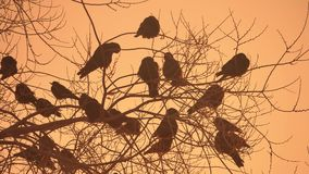 Sunset crows flock nature of birds sitting on the tree winter cold Stock Photography