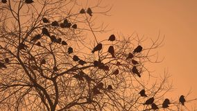 Sunset crows flock of nature birds sitting on the tree winter cold stock photography