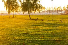 Sunset with crows. Grass and trees view. Stock Photos