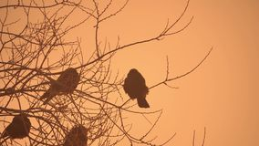 Sunset crows nature flock of birds sitting on the tree cold winter Royalty Free Stock Image