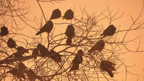 Sunset crows nature flock of birds sitting on the tree winter cold Royalty Free Stock Photo