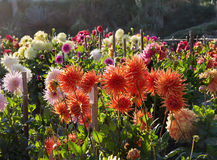 Sunset in dahlia garden. Back light. Royalty Free Stock Photos
