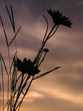 Sunset Daisies. A silhouette of daisies during a sunset Royalty Free Stock Image