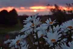 Sunset with daisies Royalty Free Stock Photos