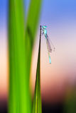 Sunset damselfly Royalty Free Stock Photography