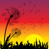 Sunset and dandelion Royalty Free Stock Photo