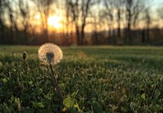 Sunset Dandelion. Close up photograph of a dandelion in the spring sunset Royalty Free Stock Photo