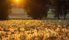 Sunset on dandelion field Stock Photography