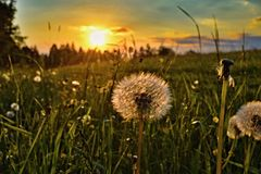 Sunset with dandelion in the foreground. royalty free stock photos