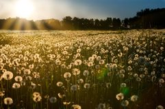 Sunset on dandelion meadow Royalty Free Stock Images