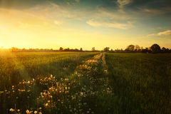 Sunset on dandelion meadow. Landscape spring photo Stock Images