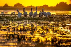 Sunset in Danube Delta with Pelicans preparing to sleep. Wildlife birds and birdwatching photography and a common sighting for tourists in the Danube Delta royalty free stock photo