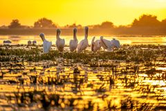 Sunset in Danube Delta with Pelicans preparing to sleep. Wildlife birds and birdwatching photography and a common sighting for tourists in the Danube Delta royalty free stock photos
