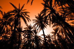 Sunset in dates palm forest Royalty Free Stock Photo