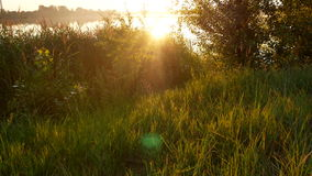 Sunset dawn grass nature. Ears of wheat swaying in the breeze at sunset stock video footage