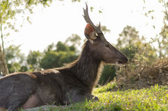Sunset deer Royalty Free Stock Images