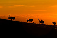Sunset deers. Black deers silhouettes on orange sunset sky background royalty free stock photography