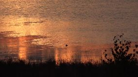 Sunset and diving duck. stock footage