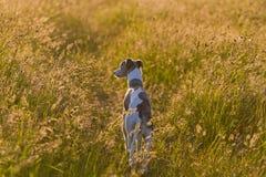 Sunset and dog Stock Image