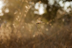 SUNSET AND DRAGONFLY Royalty Free Stock Photos