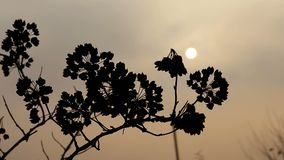 Sunset, the dry branch in the wind. backlight stock video