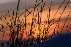 Sunset dry grass snow background Royalty Free Stock Image