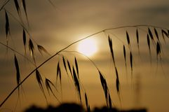 Sunset On A Dry Plant. Golden sunset on a silhouette of a dry plant Royalty Free Stock Photography