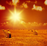 Sunset on dry wheat field Royalty Free Stock Photo