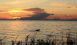Sunset. The duck competes with cloud Stock Photos
