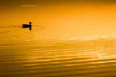 Sunset with duck Royalty Free Stock Photos