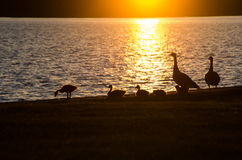 Sunset Ducks close-up Stock Photography