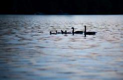 Sunset Ducks close-up Stock Image